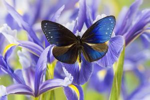 Blue Crow Butterfly, Euphoea Mulciber Subvisaya by Darrell Gulin