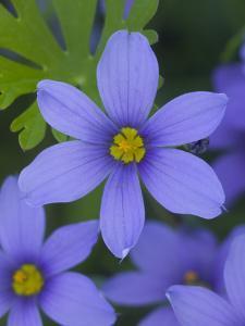 Blue Eyed Grass Near Devine, Texas, USA by Darrell Gulin