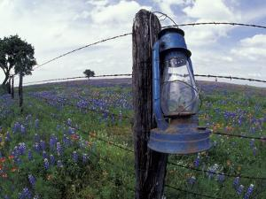 Blue Lantern, Oak Tree and Wildflowers, Llano, Texas, USA by Darrell Gulin