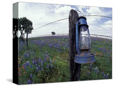 Blue Lantern, Oak Tree and Wildflowers, Llano, Texas, USA