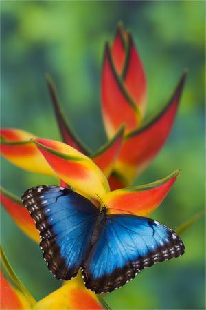 Blue Morpho Butterfly sitting on tropical Heliconia flowers