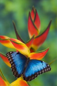 Blue Morpho Butterfly sitting on tropical Heliconia flowers by Darrell Gulin