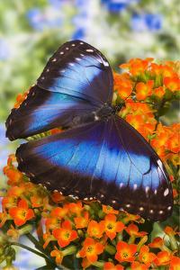 Blue Morpho Butterfly by Darrell Gulin