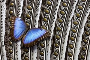 Blue Morpho on Wing Feathers of Argus Pheasant by Darrell Gulin