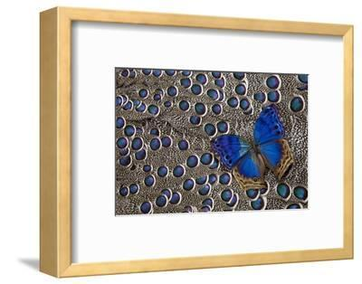 Blue Salamis Butterfly and Grey Peacock Pheasant Feather Design