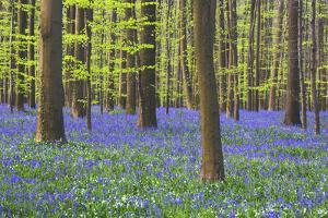 Bluebells Blooming in Beech Forest by Darrell Gulin