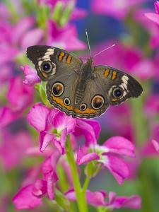 Buckeye Butterfly by Darrell Gulin