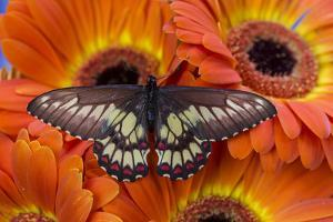 Butterfly Eurytides Corethus in the Papilionidae Family by Darrell Gulin