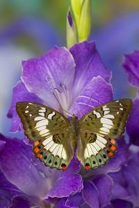 Butterfly Female Euthalia Adonia in the Nymphalidae Family by Darrell Gulin