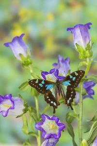 Butterfly Graphium Stresemanni by Darrell Gulin