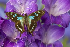 Butterfly Graphium Stresemanni by Darrell Gulin