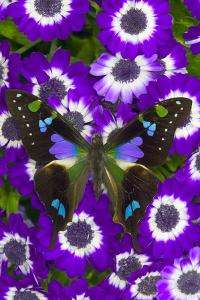 Butterfly on Purple Daisies by Darrell Gulin