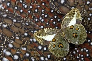 Butterfly on Tragopan Body Feather Design by Darrell Gulin