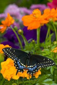 Butterfly on Yellow Flowers by Darrell Gulin
