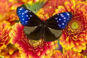 Butterfly the Striped Blue Crow, Euphoea Mulcider by Darrell Gulin