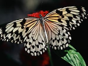 Butterfly with Wings Outstretched by Darrell Gulin