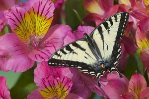 Canadian Tiger Swallowtail Butterfly by Darrell Gulin