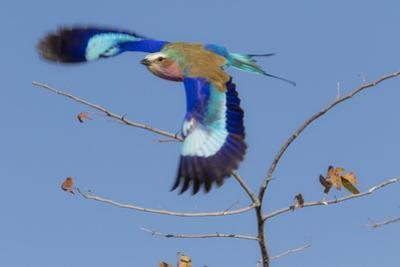 Colorful Lilac Breasted Roller taking flight, Etosha National Park by Darrell Gulin