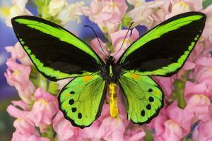 Common Green Birdwing or the Priams Birdwing, Ornithoptera Primes by Darrell Gulin