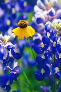 Coreopsis and Bluebonnets by Darrell Gulin