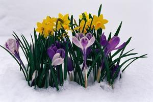 Crocuses and Daffodils in Snow by Darrell Gulin