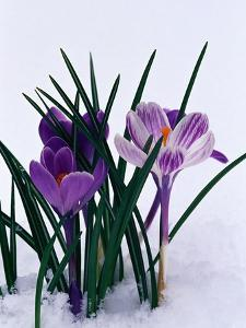 Crocuses in Snow by Darrell Gulin