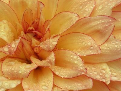Dahlia Flower with Pedals Radiating Outward, Sammamish, Washington, USA