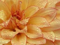 Dahlia Flower with Petals Radiating Outward, Sammamish, Washington, USA-Darrell Gulin-Photographic Print