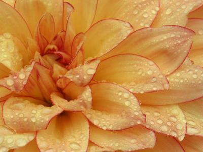 Dahlia Flower with Petals Radiating Outward, Sammamish, Washington, USA by Darrell Gulin