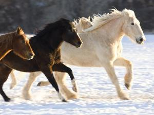 Draft Horse Running With Quarter Horses in Snow by Darrell Gulin