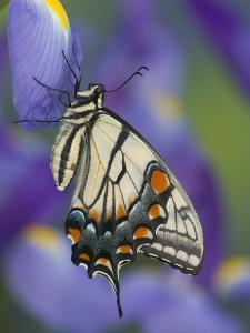Eastern Tiger Swallowtail at Rest on a Dutch Iris by Darrell Gulin