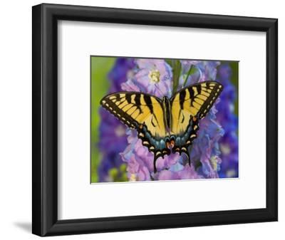 Female Eastern Tiger Swallowtail Butterfly on Delphinium