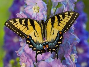 Female Eastern Tiger Swallowtail Butterfly on Delphinium by Darrell Gulin