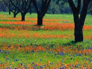 Field of Bluebonnets and Indian Paintbrush by Darrell Gulin