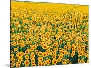 Field of Sunflowers by Darrell Gulin
