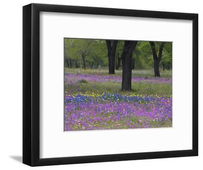 Field of Texas Blue Bonnets, Phlox and Oak Trees, Devine, Texas, USA