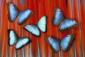 Five Blue Morpho Butterflies on Macau Tail Feather Design by Darrell Gulin