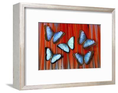Five Blue Morpho Butterflies on Macau Tail Feather Design