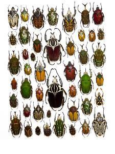 Flower Beetle Poster Cetonidae by Darrell Gulin