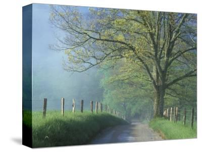 Foggy Road and Oak, Cades Cove, Great Smoky Mountains National Park, Tennessee, USA