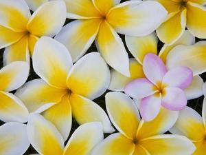 Frangipani Flowers by Darrell Gulin