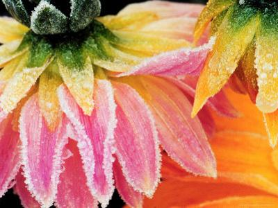 Frost on the Last Blooms of Autumn, Sammamish, Washington, USA by Darrell Gulin