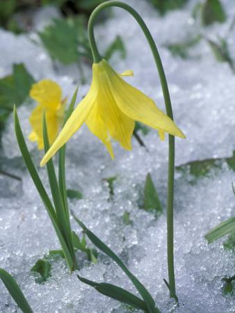 Glacier Lily Growing in Snow, Olympic National Park, Washington, USA