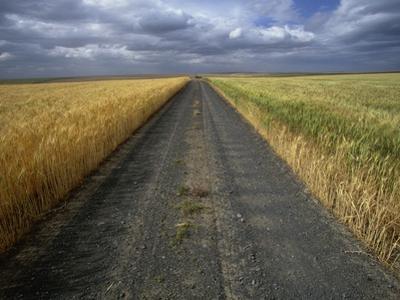 Gravel Road Passing Through Wheat Field