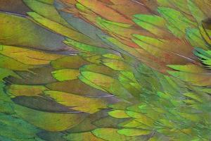 Green Wing Shoulder Design Nicobar Pigeon by Darrell Gulin