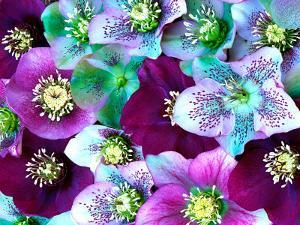 Heliborus Pattern of Winter Blooming Flower, Sammamish, Washington, USA by Darrell Gulin