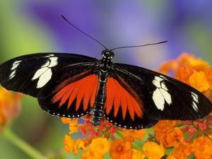 Heliconius Doris in Red Phase Resting on Lantana by Darrell Gulin
