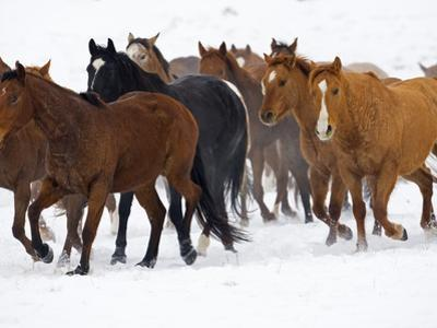 Herd of American Quarter Horses in Winter