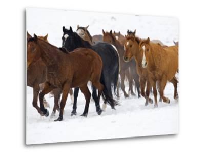 Herd of American Quarter Horses in Winter