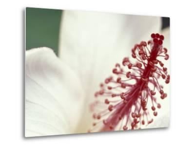 Hibiscus, Maui, Hawaii, USA